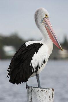 Australian Pelican, Pelicans conspicillatus