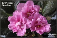 EK-Pink Carnation - Violets in Altai Plant Rooms, Room With Plants, Pink Carnations, Violets, Pansies