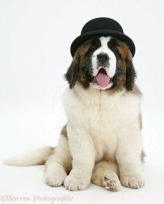 st bernard wallpaper | WP38504 Saint Bernard puppy, Vogue , wearing a bowler hat.