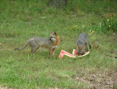 Foxes eating watermelon, sent from anonymous user on 07/31/14