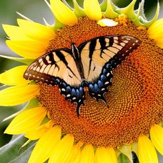 Sunflower and Butterfly for iPad 2