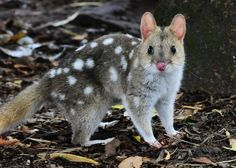 AT RISK: The Eastern Quoll, found only in Tasmania, has been declared endangered on an international level.