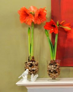 Amaryllis, 3 ways to plant Amaryllis, home decor,