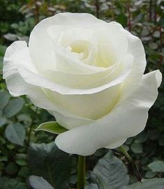 A true white, pretty shaped rose that goes nicely with Daisy-type flowers and gypsophila Beautiful Rose Flowers, Rare Flowers, Love Rose, Amazing Flowers, White Flowers, Beautiful Gorgeous, Exotic Flowers, Rose Foto, Ronsard Rose