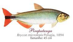 Peixe Piraputanga 3 Peixe Piraputanga