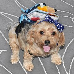 Can I go to #school with you? I've got my own backpack and everything! #BackToSchool _________ #TopDogPhoto #petloverz1 #pocket_pets #sweetpetclub #PawsomeDawgz #my_pet_feature #pets_perfection #bestfriends_dogs #petoftoday #feature_do2 #FurrendsUpClose #eb_dogs #sendadogphoto #captainandhound #Doggiez4Doggiez #cutepetshots #theloveablepets #doglife #simplepetlove #prouddogparents #ilovemydog #mydogiscutest #thedodo #dog_features #delight_pets #bestwoof #postmydog