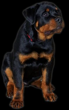 1000+ ideas about German Rottweiler on Pinterest ...