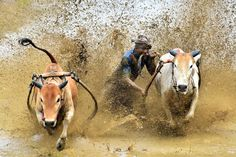 A jockey in Pacu Jawi, a muddy bull race in West Sumatra, Indonesia, bites the tail of his bull to speed it up. Photograph by Achmad Sumawijaya.