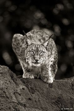 beautiful Lynx  <3