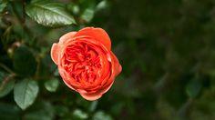 Orangene Rose | Rosen . Garten . roses . garden | Rheinland . Eifel . Koblenz . Gut Nettehammer |