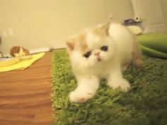 Bun Bun The Kitten Who Barks Like A Dog But is Also Too Cute! (Click on the photo to watch the video)