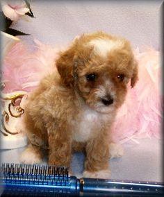 Toy poodle vancouver sale