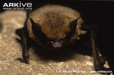 Little Brown Bat (Myotis lucifugus)* - I think this is the kind of bat that was visiting the cabin and startled me on the night of May 12 as I sat sipping my tea at the dining room table!
