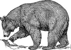 It is interesting to compare Polar bear vs grizzly bear fight. There is lot of comparison and difference between both Grizzly and Polar bear. Read further to know which bear will win. Grizzly Bear Drawing, Art D'ours, Black Bear Tattoo, Bear Tattoos, Bear Illustration, Engraving Illustration, Bear Art, Black Animals, Wildlife Art
