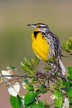 Eastern Meadowlark - Sturnella magna, occurs from eastern North America to South America, where it is also most widespread in the east.