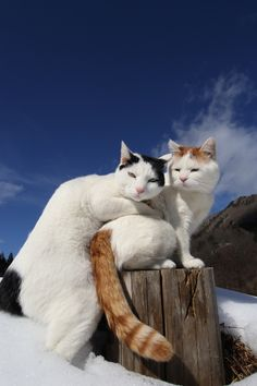look at the Turkish Van - they are both beautiful!!!!!!