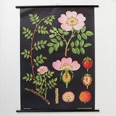 Rosa Canina Botanical Chart