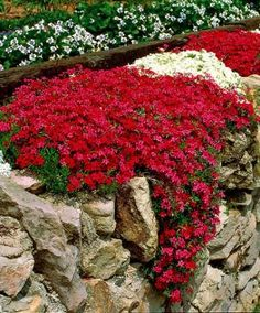 Moss Phlox (Phlox subulata) is a richly flowering, clump-forming phlox that stays green in both summer & winter. In spring these plants produce innumerable crimson & white flowers that attract butterflies. These Phlox like to be planted in full sunshine.