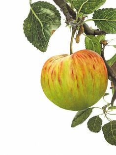 "Anna Mason Art | Apple 'James Grieve' 4th August Botanical print from an original watercolor £60 9"" x 12""Shipped worldwide http://annamasonart.com"