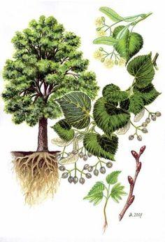 Stromy   Šavani Science Illustration, Tree Illustration, Flower Garden Drawing, Plant Fungus, Vintage Botanical Prints, Flower Coloring Pages, Nature Journal, Tree Forest, Garden Trees