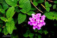 Lantana camara. Begitulan nama ilmiahnya dan suka diplesetkan menjadi lantaran asmara. Tanaman ini merupakan jenis ordo verbenales dengan famili verbenaceae. Aromanya kuat. Bunganya cantik warna pink untuk beberapa varietas ada yang berwarna merah kuning orang  sangat cantik bergerombolndalam satu tangkai.