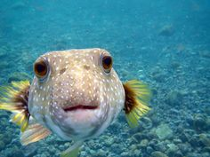 Oh Hi! Happy Aloha Friday! [White spotted puffer fish 'spotted' off the Big Island]