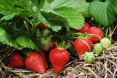 Growing organic strawberries Growing strawberries Strawberry plants Strawberry garden G Strawberry Beds, Strawberry Garden, Strawberry Plants, Fruit Garden, Organic Gardening, Gardening Tips, Ground Cover Plants, Wild Strawberries, Beautiful Fruits