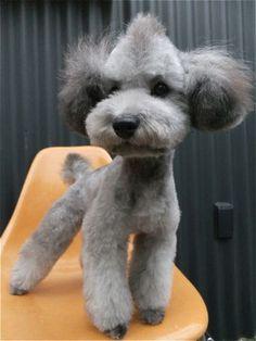 poodle with mohawk | トイ・プードルトリミング文京区ペットホテル ...