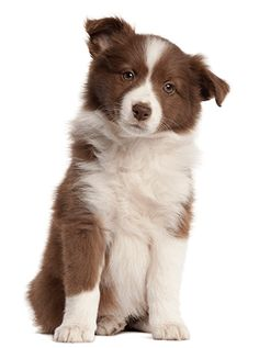Border Collie Puppy 8 Weeks Old Sitting Red Border Collie, Border Collie Pictures, Border Collie Puppies, Smartest Dogs, Tier Fotos, Puppy Breeds, Happy Dogs, Beautiful Dogs, Dog Gifts
