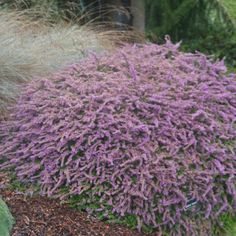 Calluna vulgaris 'Sister Anne'/ Scotch Heather