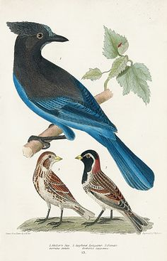 Steller's Jay, Lapland Longspur USD $75 Alexander Wilson Natural History of Birds of the United States 1832