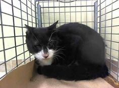 KILL LIST 9/18@NOON- NYC ACC: STITCH ID #A1013894 male black & white dsh mix about 6 YRS old. NEITHER ACC nor whoever brought STITCH have been fair to him. STITCH was separated from his companion, and she was adopted-and while this boy did allow some handling when he first was brought in, he now realizes the ACC is not going to let him out alive-unless you help. 'FRACTIOUS' is a term ACC uses to describe frightened, 'flight or fight' cats that feel backed into a corner, and he is...