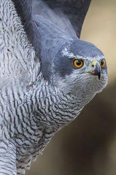Birds of Prey - Raptor - Goshawk (male) All Birds, Birds Of Prey, Beautiful Birds, Animals Beautiful, Northern Goshawk, Falcon Hawk, Rainbow Waterfall, Eagle Images, Different Birds