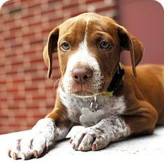 Sawyer is an adoptable Pointer searching for a forever family near Detroit, MI. Use Petfinder to find adoptable pets in your area.