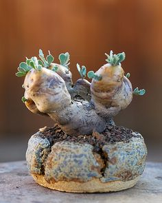 Idea Of Making Plant Pots At Home // Flower Pots From Cement Marbles // Home Decoration Ideas – Top Soop Succulent Bonsai, Succulents In Containers, Container Plants, Cacti And Succulents, Planting Succulents, Unusual Plants, Exotic Plants, Cool Plants, Cactus Planta