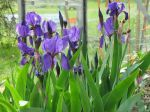 Saksankurjenmiekka, Iris germanica - Verkkokauppa - Puutarha Auringontähti