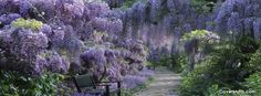 Wisteria Facebook Cover