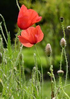 Ruisunikko, Papaver dubium - Kukkakasvit - LuontoPortti