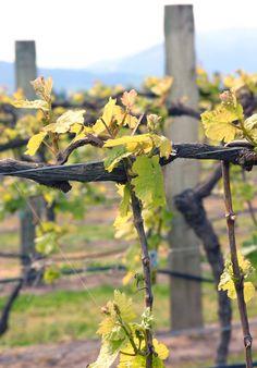 Brancott Vineyards (October 22, 2005, Marlborough, New Zealand)