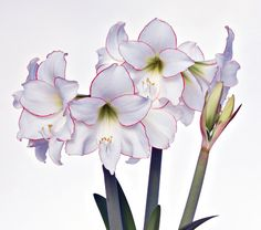 Amaryllis Picotee, one bulb in a red ceramic cachepot - White Flower Farm