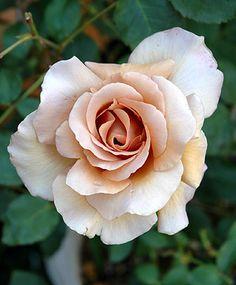 ~Hybrid Tea Rose: Rosa 'Julia' AKA 'Chocolate Rose' (U.K., 1976)