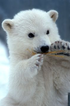 Polar Bear cub CD