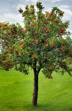 Take an in depth look at how to have a DIY backyard pollinator garden! Apple Garden, Fruit Garden, Garden Trees, Fast Growing Fruit Trees, Honeycrisp Apple Tree, Baumgarten, Apple Seeds, Red Apple, Tree Art