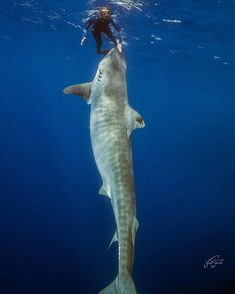 This Tiger Shark is massive. This diver is stark raving mad. When does courage cross over into stupidity. I foresee a 'Grizzly Man' ending in this. Underwater Life, Underwater Photos, Planeta Animal, Types Of Sharks, Orcas, Shark Diving, Whale Sharks, Marsa Alam, Shark Bait