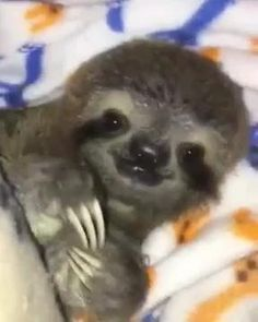 Cute Baby Sloths, Cute Baby Dogs, Cute Baby Bunnies, Cute Sloth, Cute Little Animals, Cute Funny Animals, Funny Sloth Pictures, Sloth Video, Hilarious Memes