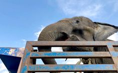 Rescuers from the Phuket Elephant Sanctuary in Thailand traveled many miles across the sea to find and save a elephant in need. Adopt An Elephant, Animal Rescue Stories, Elephant Sanctuary, Majestic Animals, Phuket, Thailand Travel, Elephants, This Is Us, Sea