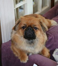 The Magnificent Merlin, his imperial Pekingese pose