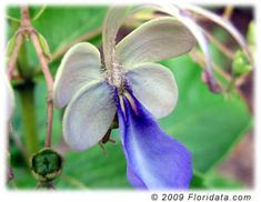 Clerodendrum ugandense  Common Names: blue butterfly bush, blue glorybower