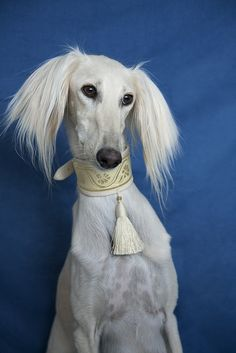 ~Saluki~ The Saluki, also known as the Royal dog of Egypt, is one of the oldest known breeds of domesticated dog.  --- She looks like she should be on the cover of VOGUE.