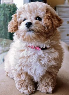 Top 100 puppies of 2012 #25: Cecelia the Poodle. It's soo fluffy!